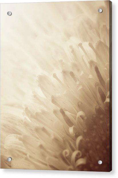 Gerbera Sepia Acrylic Print