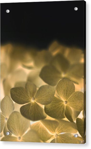 Glow Blossoms Acrylic Print