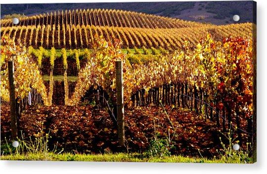 Golden Autumn Vineyard Acrylic Print