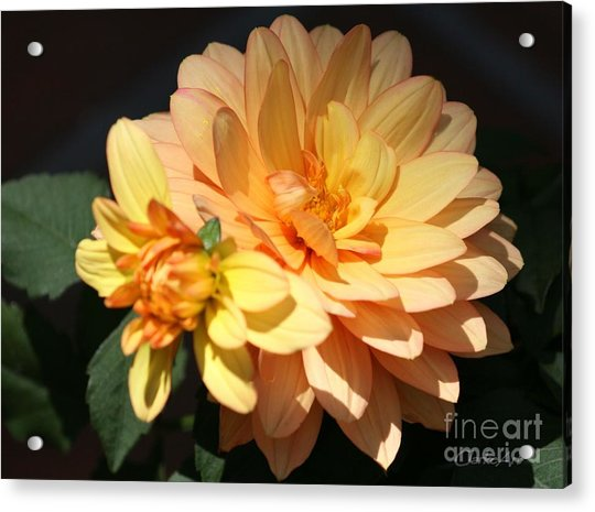 Golden Dahlia With Bud Acrylic Print