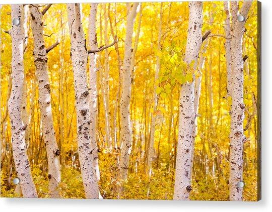 June Lake - Aspen Trees - Golden Trees Acrylic Print