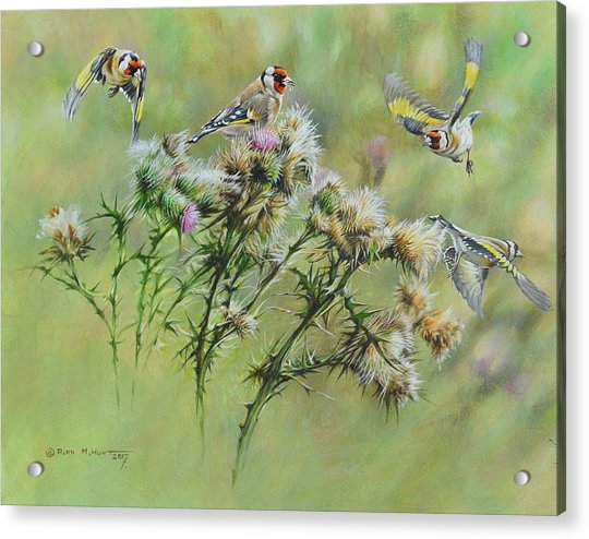 Goldfinches On Thistle Acrylic Print