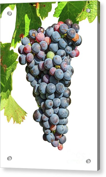 Grapes On Vine Acrylic Print
