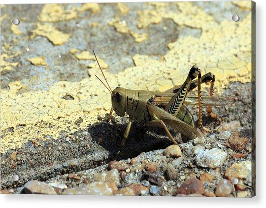Grasshopper Laying Eggs Acrylic Print