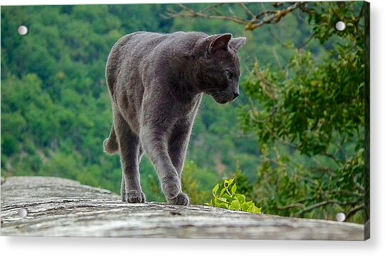 Gray Cat Stalking Acrylic Print