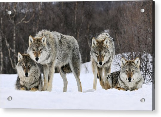 Gray Wolves Norway Acrylic Print