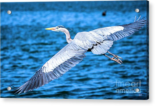 Great Blue Heron Flight Acrylic Print