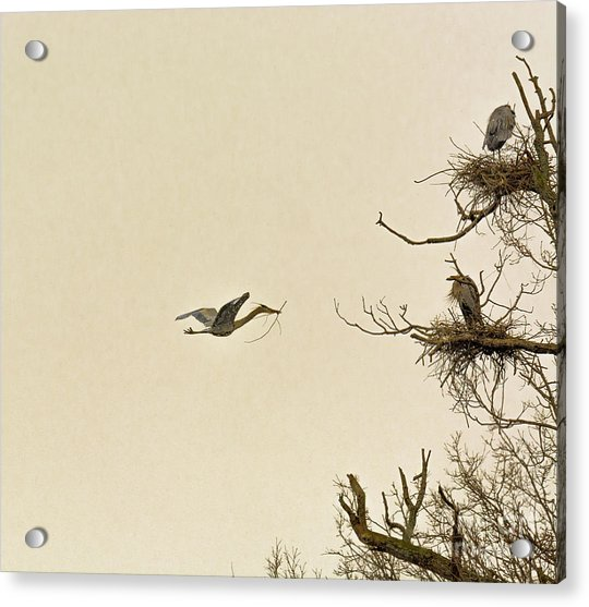 Great Blue Heron Nest Building Acrylic Print