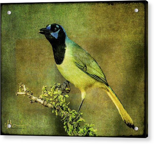 Green Jay With Textures Acrylic Print