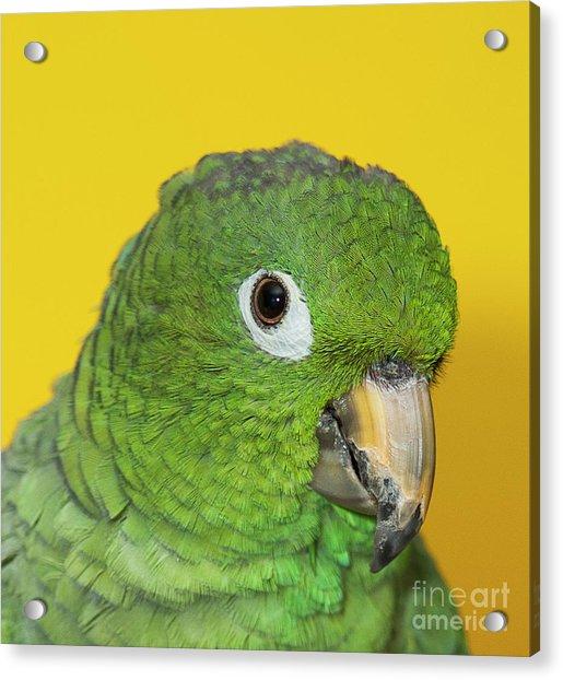 Green Parrot Head Shot Acrylic Print