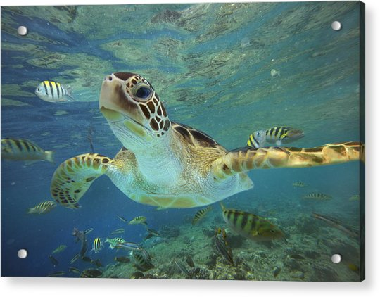 Green Sea Turtle Chelonia Mydas Acrylic Print