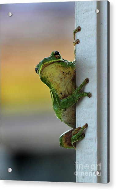 Green Tree Frog  It's Not Easy Being Green Acrylic Print