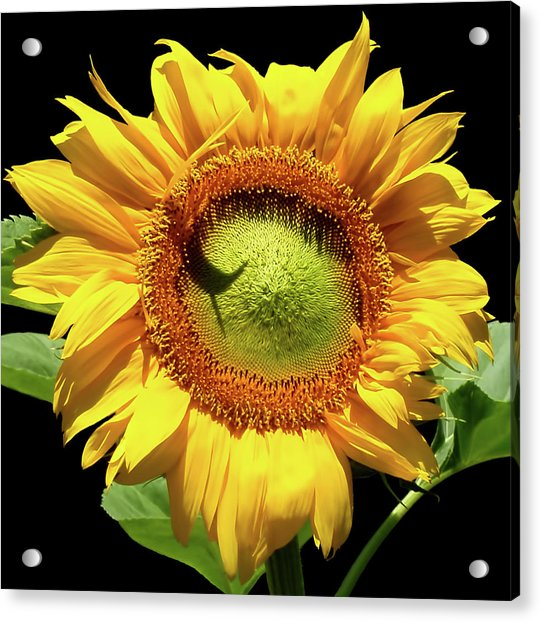 Acrylic Print featuring the photograph Greenburst Sunflower by Rona Black