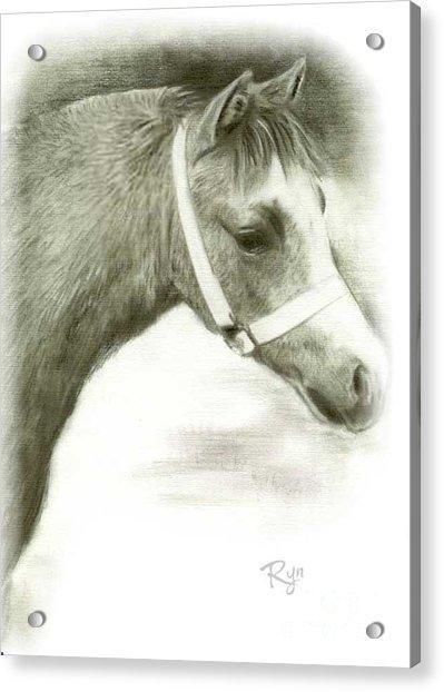 Grey Welsh Pony  Acrylic Print
