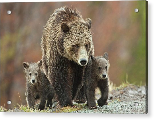 Grizzly Family Acrylic Print