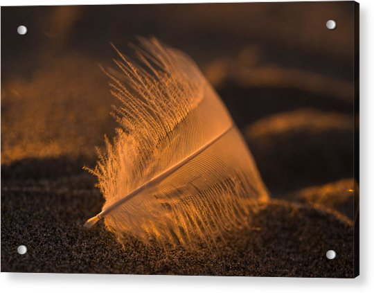 Gull Feather At Sunset Acrylic Print