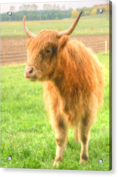 Acrylic Print featuring the photograph Hairy Coos by Garvin Hunter