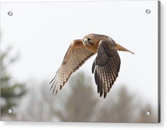 Hal Takes Flight Acrylic Print