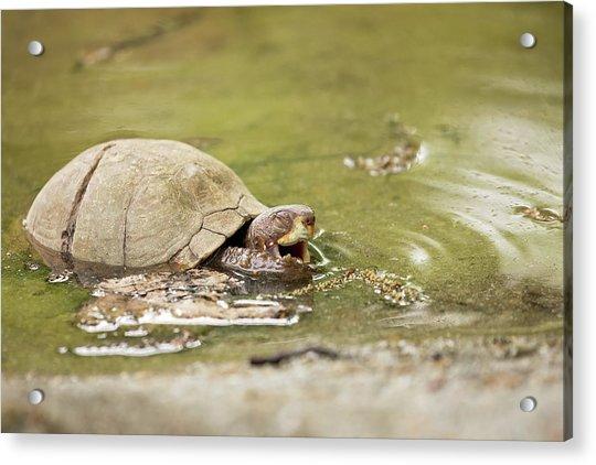 Happy Turtle Acrylic Print