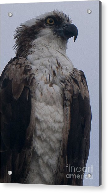 Hawk Looking Into The Distance Acrylic Print