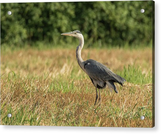 Heron In The Field Acrylic Print