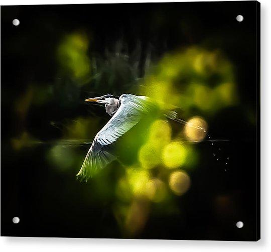 Heron Launch Acrylic Print