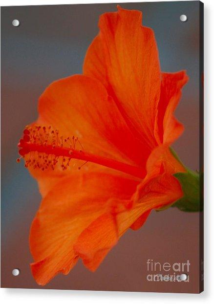 Hot Orange Hibiscus Acrylic Print