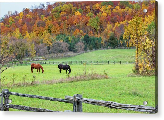 Horses Contentedly Grazing In Fall Pasture Acrylic Print