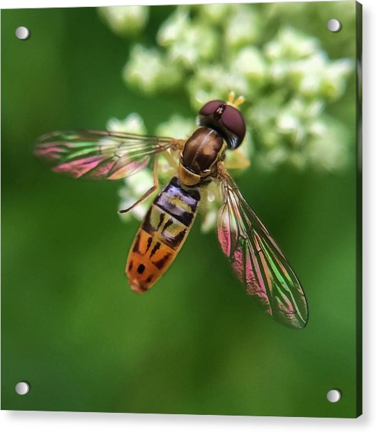 Hover Fly Acrylic Print
