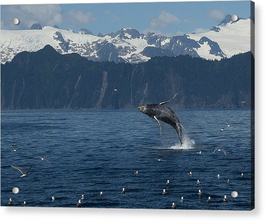 Humback Whale Arching Breach Acrylic Print