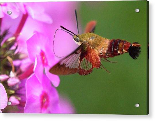 Hummingbird Moth Feeding 2 Acrylic Print