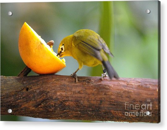 Hungry... Acrylic Print by Miguel Celis