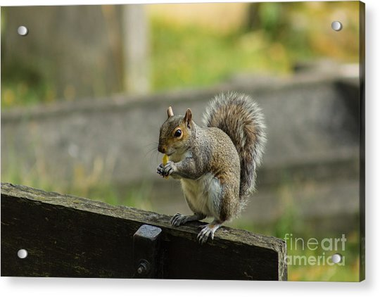 Hungry Squirrel Acrylic Print