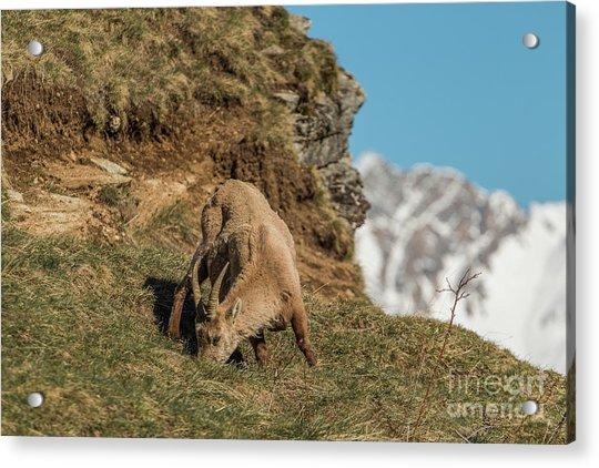 Ibex On The Mountains Acrylic Print