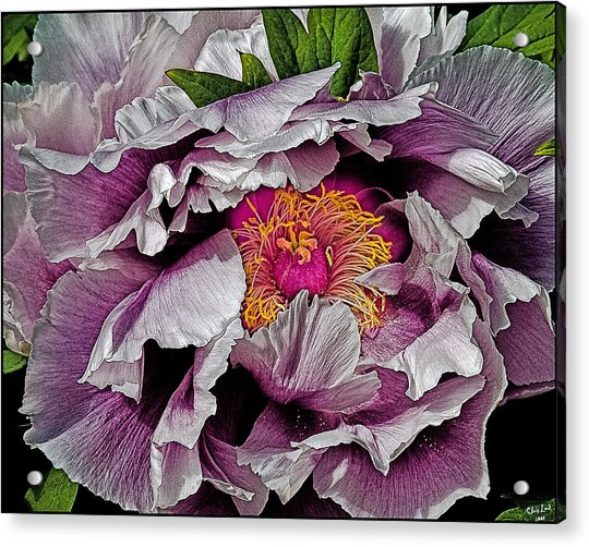 Acrylic Print featuring the photograph In The Eye Of The Peony by Chris Lord