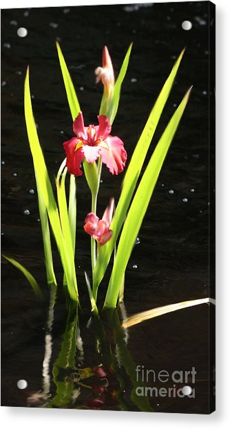 Iris In Water Acrylic Print