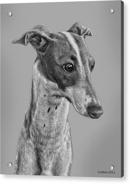 Italian Grayhound 2 Acrylic Print