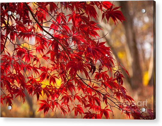 Japanese Maples Acrylic Print