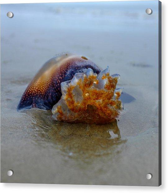 Jellys Last Swim Acrylic Print