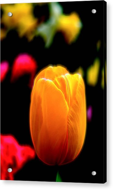 Acrylic Print featuring the photograph Just A Tulip by Kevin McClish