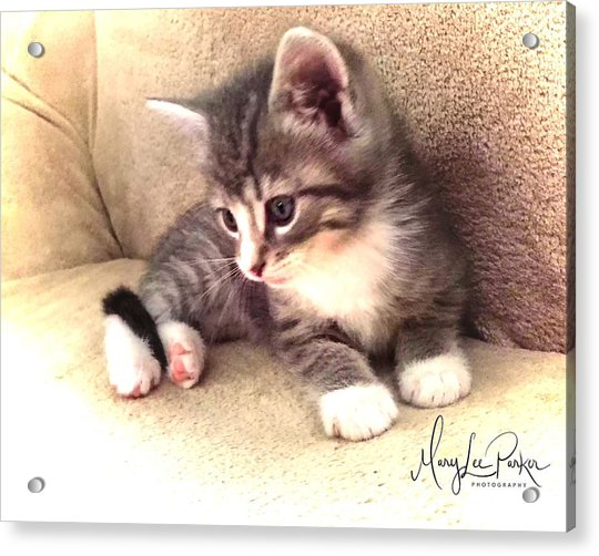 Kitten Deep In Thought Acrylic Print