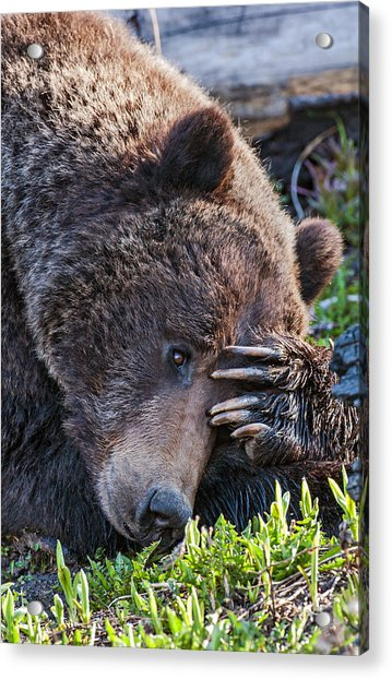 Lazy Bear Acrylic Print