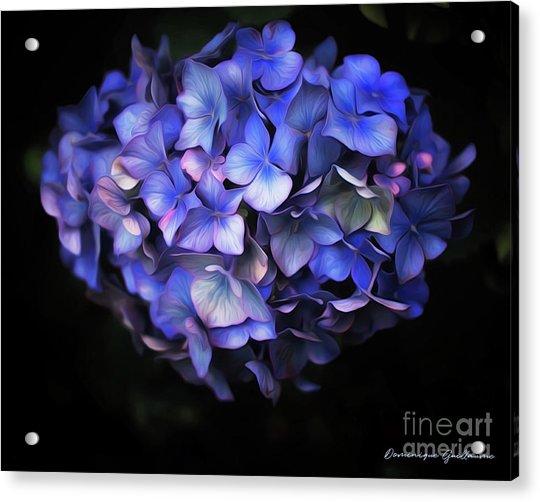 l'Hortensia bleu Acrylic Print