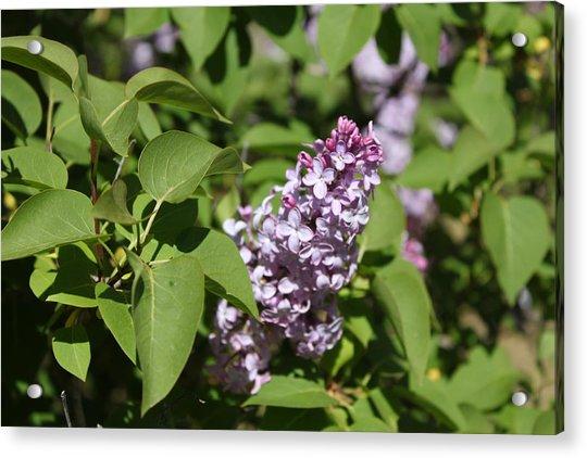 Lilacs 5551 Acrylic Print