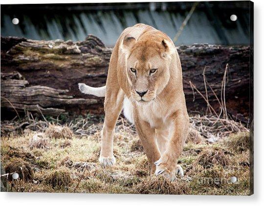 Lion Eyes Acrylic Print