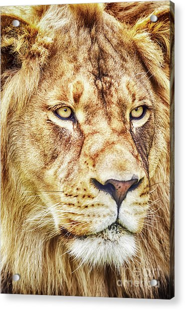 Lion Is The King Of The Jungle Acrylic Print