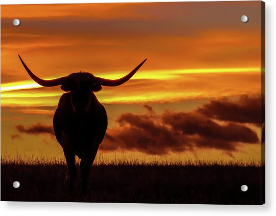 Longhorn At Sunset Acrylic Print