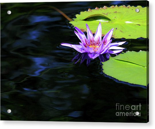 Lotus And Dark Water Refection Acrylic Print