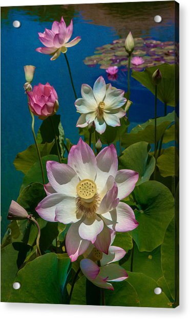 Acrylic Print featuring the photograph Lotus Pool by Chris Lord