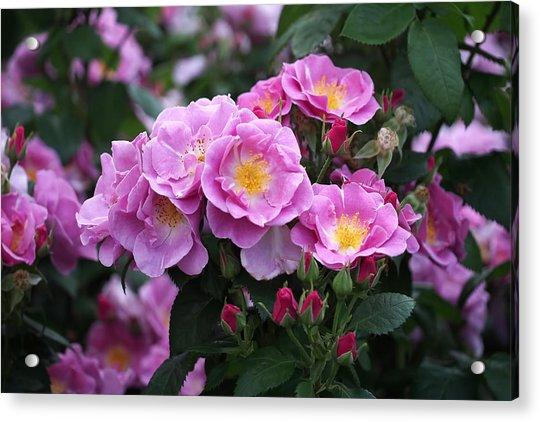 Acrylic Print featuring the photograph Lucky Floribunda Roses by Rona Black